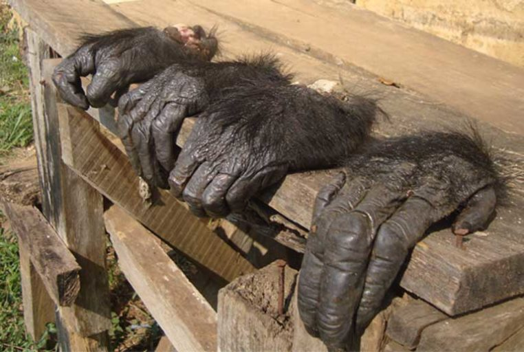 It isn't only skulls and ape meat that are traded, arriving in the US, Europe and other nations; other great ape parts are also sold on the black market. Photo courtesy of LAGA