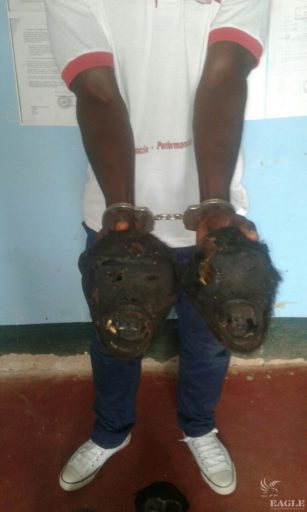 A trafficker arrested with two ape skulls. Photo courtesy of the Eagle Network