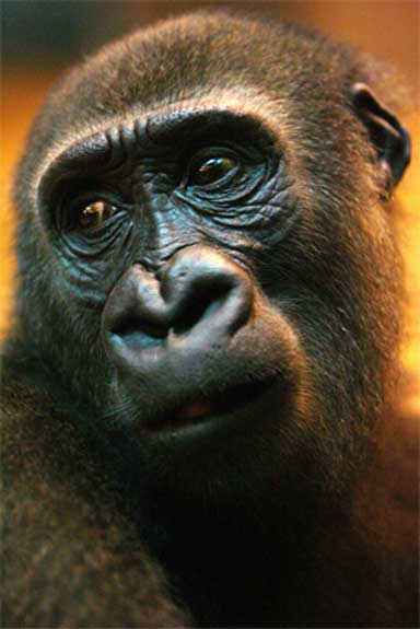 "One of the ""Taiping Four"", a group of gorillas illegally exported from Africa in 2002; they were returned to Cameroon in 2006. Photo courtesy of the International Fund for Animal Welfare, Flickr CC."