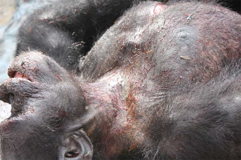 A dead chimpanzee seized by LAGA and MINFOF. Photo courtesy of LAGA