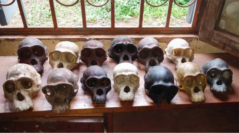 Thirteen chimpanzee skulls seized from two traffickers. The skulls were taken from chimps in Cameroon's Dja Faunal Reserve, a World Heritage Site. Photo courtesy of LAGA