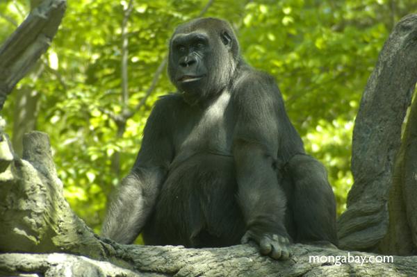 A Western Lowland gorilla. Photo by Rhett A. Butler / Mongabay