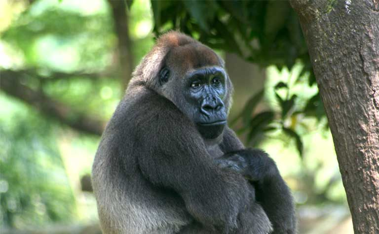 A Cross River Gorilla (Gorilla-gorilla-diehli) Photo by Julie Langford courtesy of the Limbe Wildlife Centre