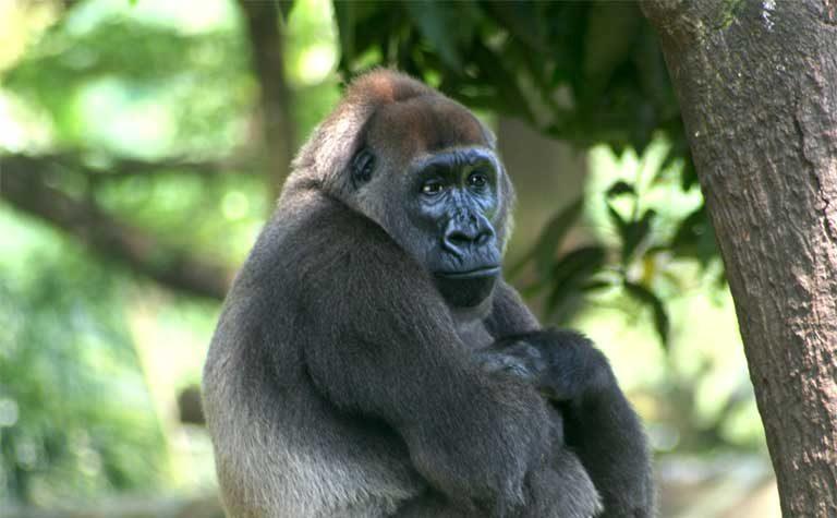 A Cross River Gorilla (Gorilla-gorilla-diehli) Photo by Julie Langford courtesy of the Limbe Wildlife Centre