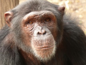 Ghaa today. Although healed he is still much slower than the other chimps in the Limbe Wildlife Center. Photo courtesy of Limbe Wildlife Centre