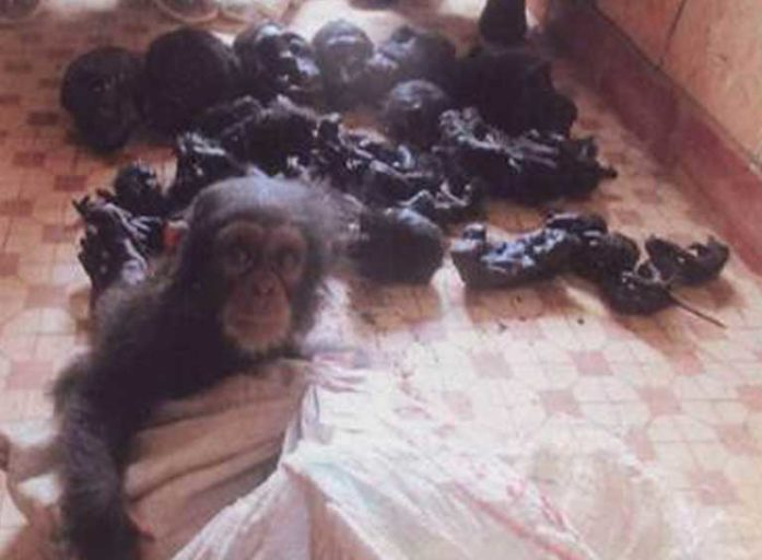 Seized charred ape meat and skulls alongside a confiscated baby chimp. Photo courtesy of LAGA
