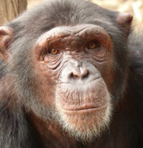 Great Apes And Greater Challenges  Trafficking In Cameroon