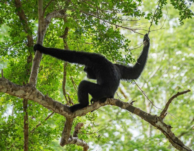 A pileated gibbon in the treetops. Photo by Rigelus licensed under the Creative Commons Attribution-Share Alike 4.0 International license.
