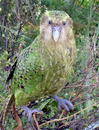 Kakapo portrait_Mike Bodie-NZ Dept of Conservation - Wikipedia