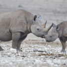 Black rhino mom and calf