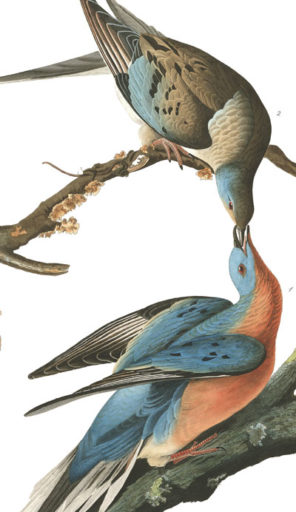 Passenger Pigeons. Painting by John James Audubon.