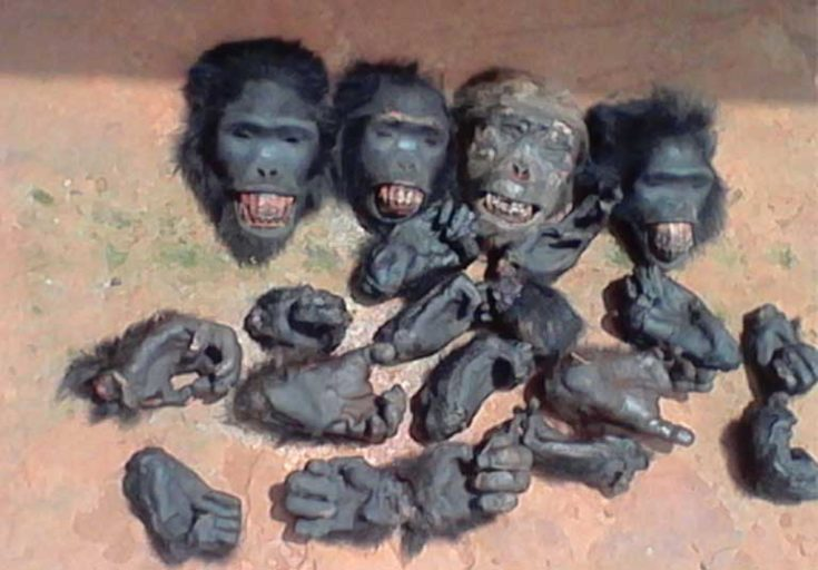Gorilla heads and limbs found with suspected traffickers in Abong Bang, a town in the Center region of Cameroon. Photo courtesy of LAGA
