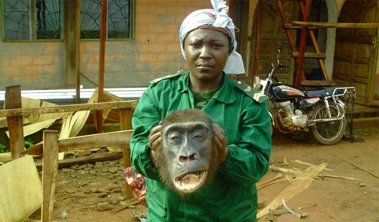 A park ranger in eastern Cameroon displays the head of a gorilla seized from poachers just hours after it was shot and dismembered in the locality of Lomie. Photo courtesy of LAGA