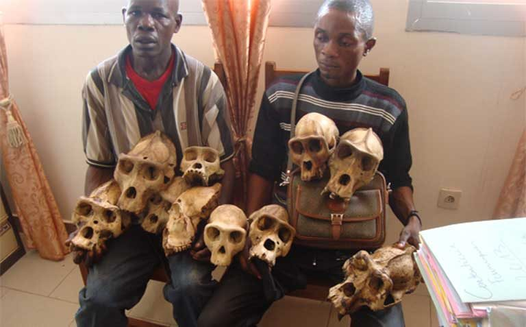 Suspected traffickers pose with dozens of gorilla skulls after the arrest of traffickers in Bertua, eastern Cameroon. Photo courtesy of LAGA