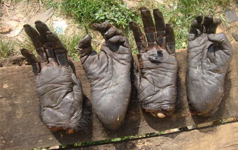 Primate limbs confiscated in Yaounde, Cameroon's capitol. Photo courtesy of LAGA