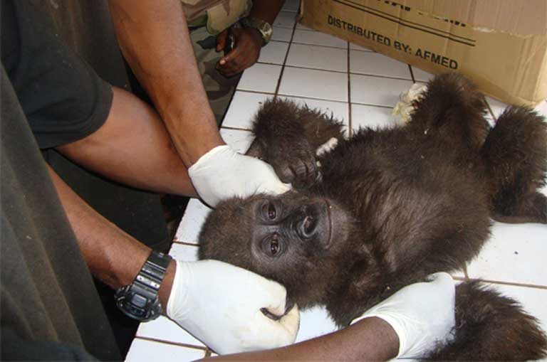 A baby gorilla rescued from traffickers in October 2010 in Cameroon's Center region. Photo courtesy of LAGA