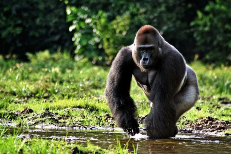 Unless the trafficking of gorillas and chimpanzees can be controlled, these primates will soon be lost from the forests of Cameroon. Photo by MCAMERFİLS licensed under the Creative Commons Attribution-Share Alike 4.0 International license