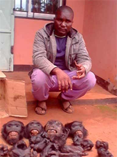 Gorilla heads and limbs seized by authorities in Cameroon. Photo courtesy of LAGA