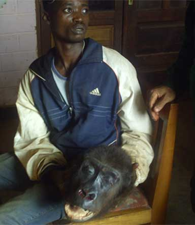 Brought in for questioning, a suspected trafficker holds on to the head of a freshly killed gorilla in eastern Cameroon. Photo courtesy of LAGA