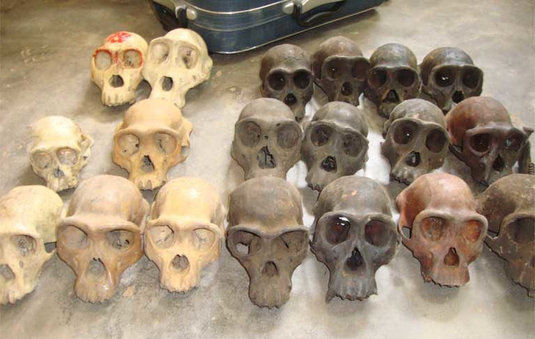 Ape skulls recovered from suspected traffickers, concealed in a travelling suitcase, during a sting operation at a bus station in Yaounde in November 2015. Photo courtesy of LAGA