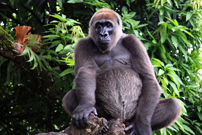 A revival of traditional indigenous knowledge surruonding the Critically Endangered Cross River gorilla (Gorilla gorilla diehli) could help preserve it. Photo by arenddehaas licensed under the Creative Commons Attribution-Share Alike 3.0 Unported license