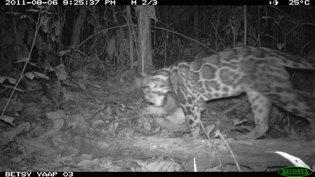 A clouded leopard (Neofelis nebulosa) ambles by a camera trap. Photo by Betsy Yaas