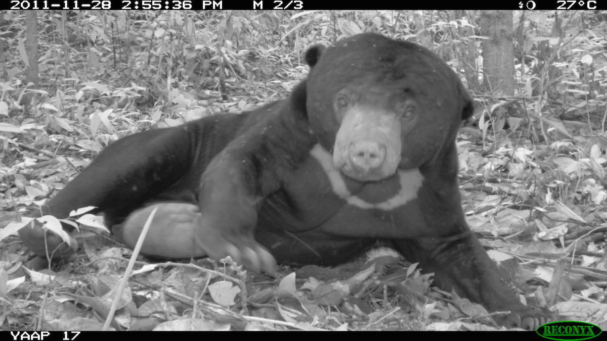 A sun bear (Helarctos malayanus) strikes an alluring pose. Photo by Betsy Yaas
