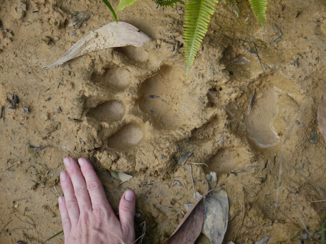 A tiger track near one of the study sites. Bill Laurance