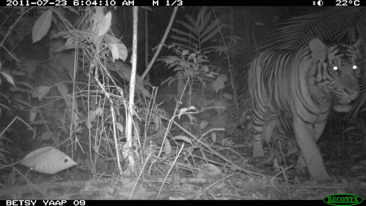 Harimau sumatera yang tertangkap kamera jebak. Foto: Betsy Yaap