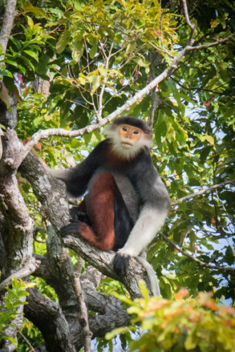 Red-shanked Douc langur (Pygathrix nemaeus), Son Tra Mountain, Da Nang, Vietnam.  Photo by Russell A. Mittermeier