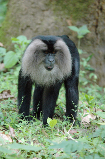 Lion-tailed macaque in India. Photo by Russell A. Mittermeier