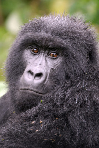 Mountain gorilla.  Photo by Russell A. Mittermeier