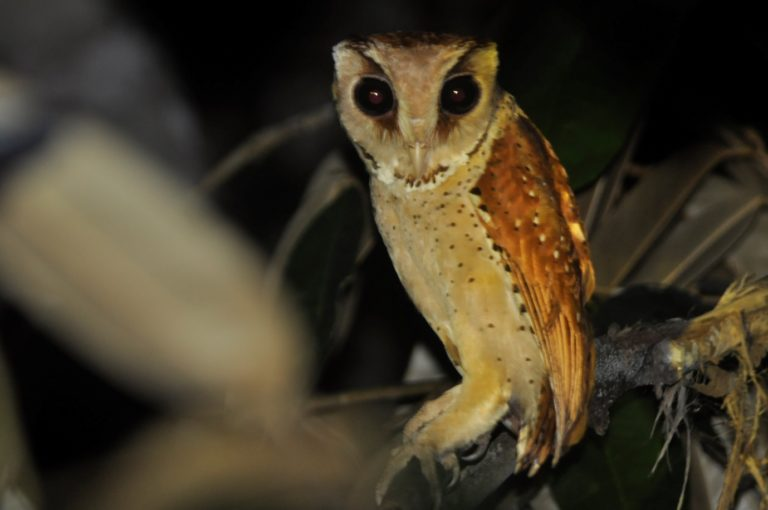 A rarely seen Bay Owl (Phodilus badius). Photo by Arie Prasetya.