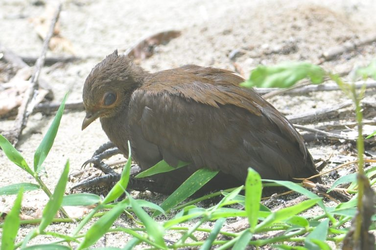A young Philippine Scrubfowl (Megapodius cumingii), a rarely seen megapod which we found during the first part of our Raven surveys in the Derawan island archipelago.