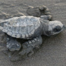 An olive ridley sea turtle hatchling, pictured here in Costa Rica. Photo by Rhett Butler.