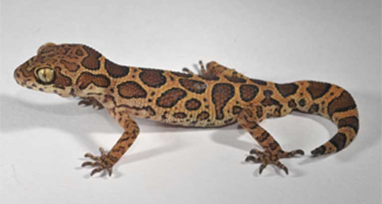 Researcher and conservationist Varad Giri says that G jeyporensis' orangey-brown dorsum and chocolate-brown dorsal patches, make it one of the most beautiful Indian geckos. Photo courtesy of Ishan Agarwal