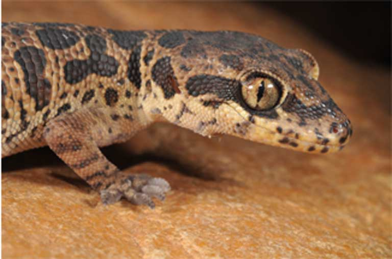 Neither of the two Eastern Ghats locales where the Jeypore ground gecko was rediscovered are formally protected, and both have been severely deforested. Photo courtesy of Ishan Agarwal