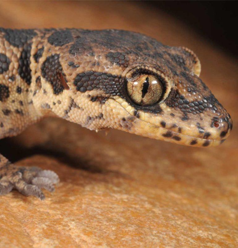 Jeypore ground gecko, photo courtesy of Ishan Agarwal