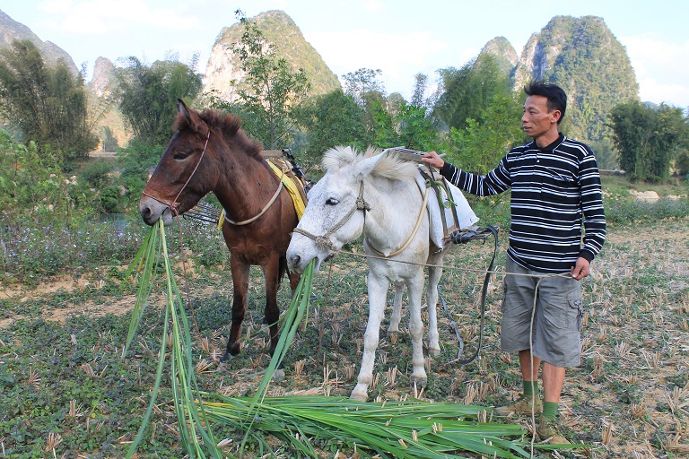 Hoang Van Quy feeds elephant grass to his two mules outside of Phia Siem. Photo by Michael Tatarski for Mongabay
