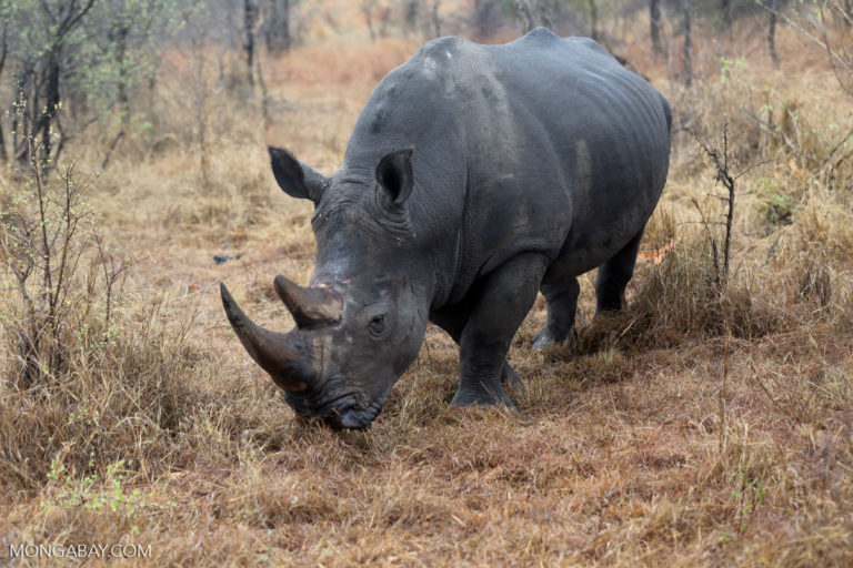 white rhino kruger r butler 768x512.'