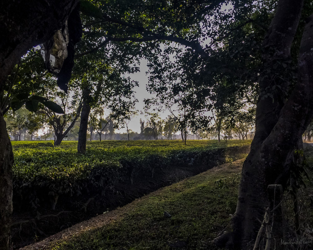 The Fatemabad Tea Estate, adjacent to Manas National Park. During British Colonial rule, demand for plantation laborers swelled Assam's population. The newcomers settled in areas traditionally inhabited by the Bodos. Photo by M. Kundal Bora.