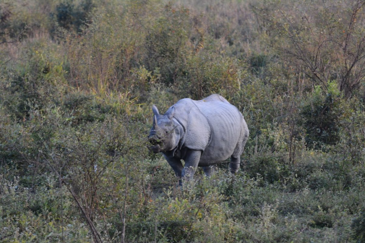 One of India's greater one-horned rhinos, photographed in Assam State's Kaziranga National Park. Photo by Udayan Dasgupta for Mongabay.