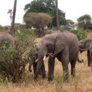 Elephants in Tarangire National Park in Tanzania