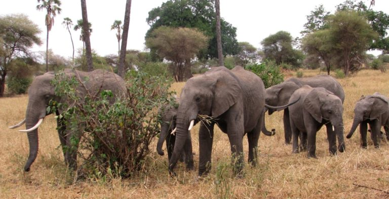 Elephants in Tarangire National Park in Tanzania