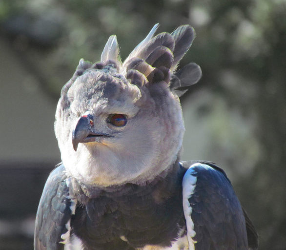 Harpy eagle - the Americas' largest raptor.