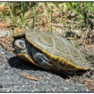 Saving Jamaica Bay's diamondback terrapins