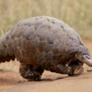 It's World Pangolin Day!