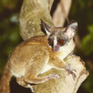 African bush babies gain a new genus