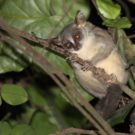 This new primate is a 'giant' among tiny bush babies