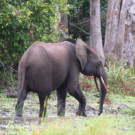 More than 25,000 elephants were killed in a Gabon national park in one decade